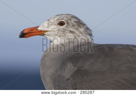 Heermanns Gull Close-up