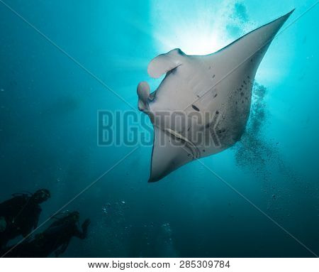 Giant manta ray with two divers silhouettes. Marine life, scuba diving and under water leasure activities.