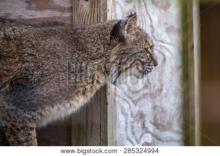 A Large Whiskered Face Cat Relaxing Inside There Fences In Catty Shack Ranch Wildlife Sanctuary