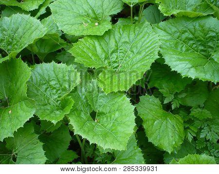 Petasites Hybridus Plant With Large Leaves Butterbur.