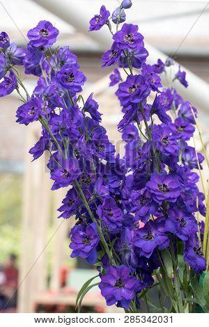 Blooming Blue Delphinium Elatum Magic Fountains Flowers