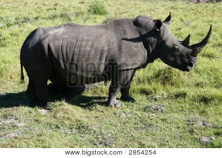an african rhino at a game park poster