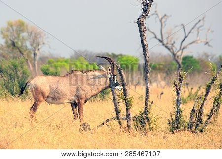 A Rare Close-up Sighting Of The Elusive Roan Anteope Standing On The African Plains In Hwange Nation