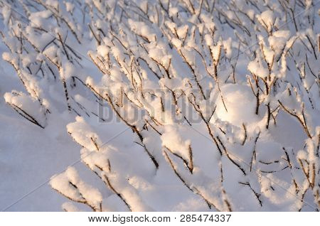 Bush Branches Covered With Snow At Winter Evening.