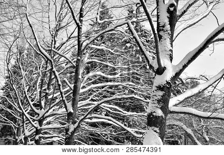 Tree Branches Covered With Snow At Winter Day. Black And White.