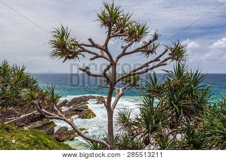 Tree Growing Near Snapper Rocks Coolangatta, Qld, Australia