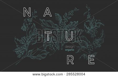 Vector Nature Template Botanical Art Sketch Design Coffee Tree With Realistic Leaf, Flower, Bean, Gr
