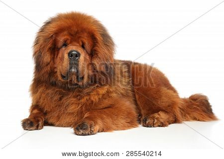 Red Tibetan Mastiff Dog Lying On A White Background. Studio Shoot