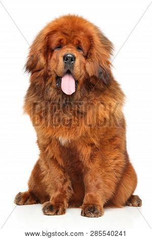 Portrait Of Red Tibetan Mastiff On White Background