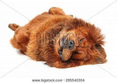 Red Tibetan Mastiff Relaxing On White Floor. Animal Themes