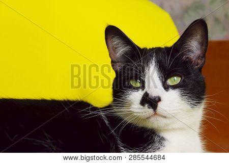 Black Cat On Yellow Background, Cropped Shot.cute Tuxedo Cat Over Yellow Background. Close Up Of A C