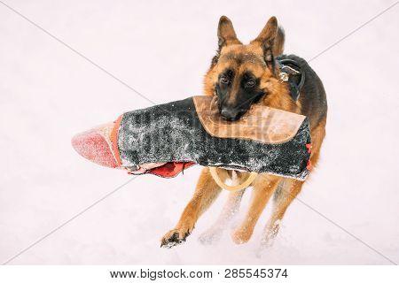 German Shepherd Dog Holding Training Sleeve In Jaws. Winter Season Training Of Purebred Adult Alsatian Wolf Dog. Dog Holding Training Sleeve In Jaws. poster