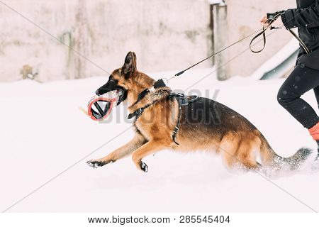 German Shepherd Dog Running Near Owner During Winter Training. Training Of Purebred Adult Alsatian Wolf Dog. Dog Holding Training Sleeve In Jaws. poster