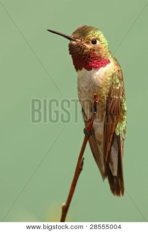 Broad-tailed Hummingbird With Aggressive Stance