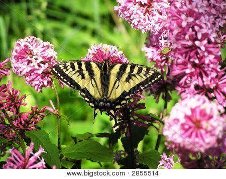 Butterfly On A Lilac Bush