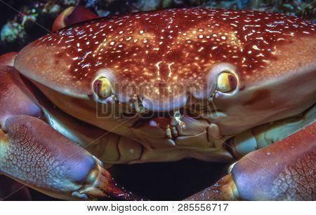 Carpilius Corallinus Or Batwing Coral Crab In Closeup At Night