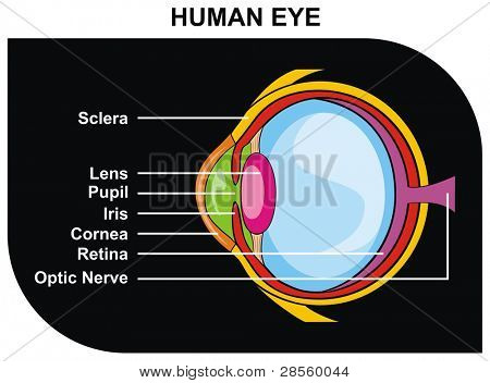 VECTOR - Human Eye Cross-Section including Eye Parts (sclera, lens, pupil, iris, cornea, retina, optic nerve ) - Helpful for Clinic and Education in school, college, university - Medical Diagram