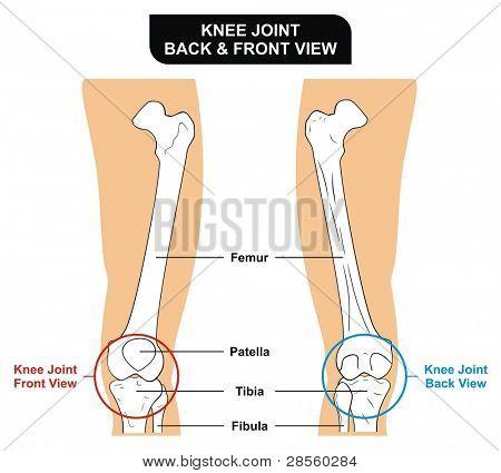 Knee Joint - Front and Back View - Bones ( Femur, Tibia, Fibula, Patella) - Kneecap