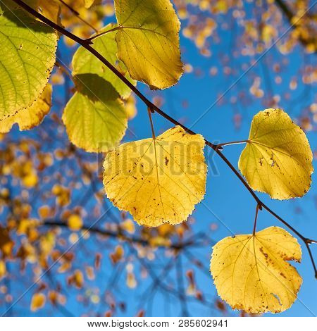 Leaves Of A Linden Tree With Autumn Color In October In Autumn.