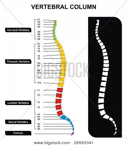 Vertebral Column (Spine) Diagram including Vertebra Groups ( Cervical, Thoracic, Lumbar, Sacral ) - Useful For Medical Education and Clinics