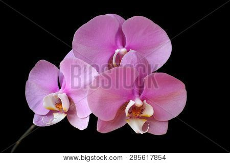 Close-up Of Pink-white Orchid (orchidaceae) Flower On The Black Background. Macro Photography Of Nat