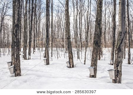 Maple Syrup Season In Rural Quebec, Canada. Collection Maple Sap In Spring Forest.