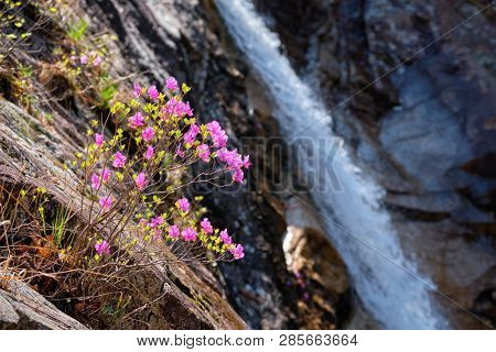 Rhododendron Mucronulatum Korean Rhododendron flower with Biryong Falls Waterfall in Seoraksan National Park, South Korea