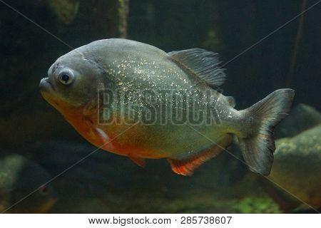 Big Gray Predatory Piranha Fish In Aquarium Water