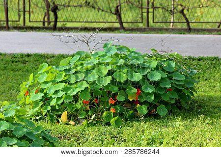 Garden Nasturtium Or Tropaeolum Majus Or Indian Cress Or Monks Cress Annual Flowering Plant With Dis