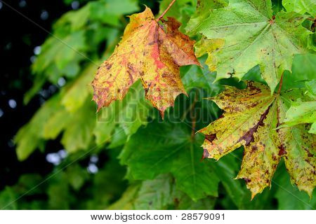 maple leaves in autumn colors with camouflaged spider net poster