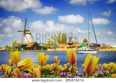 Dutch Windmills Over Zaan River With Tulip Flowers, Holland