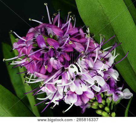 Ligustrum Vulgare (wild Privet, Also Known As Common Privet Or European Privet) - London, United Kin