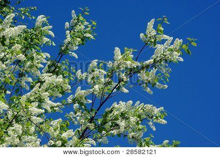 Bird-cherry blossom against blue sky