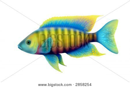 African Peacock Cichlid Fish