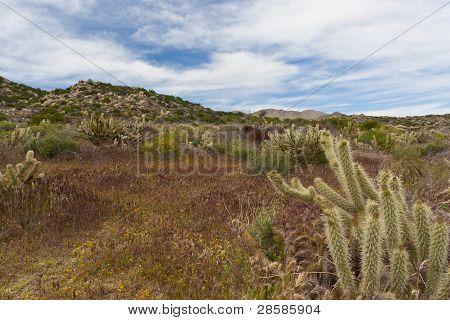 Desert Wildflowers And Cactus In Bloom In Anza Borrego Desert. California, Usa