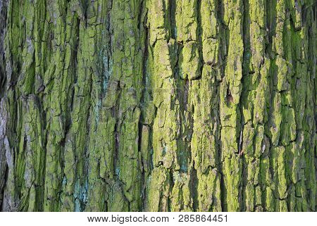 Tree Bark Covered With Moss And Lichen In A Sunny Spring Day