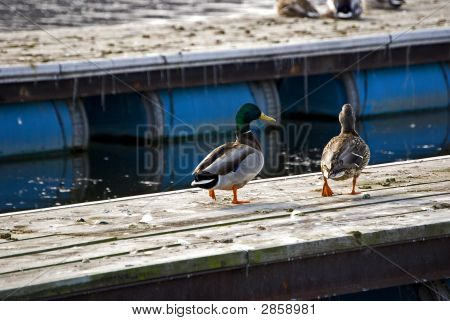 Ducks On A Mission