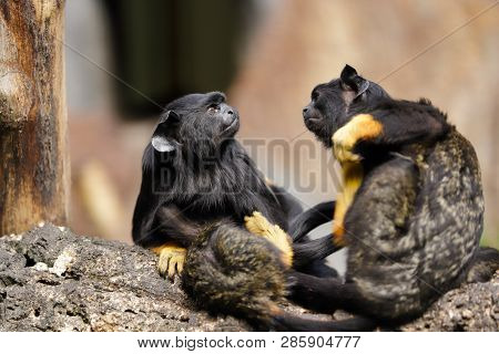 Family Of The Red-handed Midas Tamarin Monkeys. New World Monkey. Photography Of Nature And Wildlife