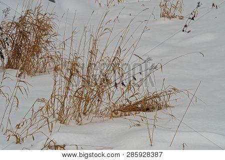 Coastal Cane In The Snow. February. Pavlovsk. Park.