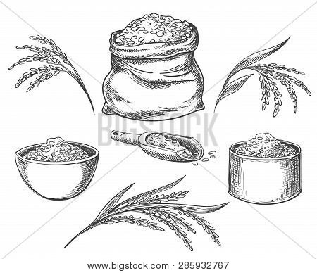 Cereal Rice. Hand Drawn Grained Rice Seed Isolated On White Background, Healthy Eating Grains, Cerea