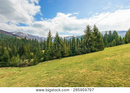 Spruce Forest On The Hill In Springtime. Evergreens On The Grassy Hillside. Distant Ridge With Spots