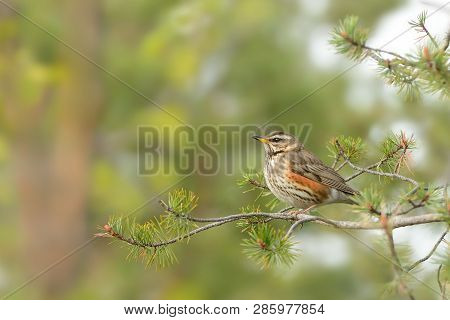 Nest Of The Redwing - Turdus Iliacus, Bird In The Thrush Family, Turdidae, Native To Europe And Asia
