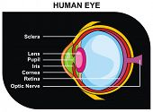 VECTOR - Human Eye Cross-Section including Eye Parts (sclera, lens, pupil, iris, cornea, retina, optic nerve ) - Helpful for Clinic and Education in school, college, university - Medical Diagram poster