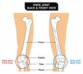 VECTOR - Knee Joint - Front and Back View - Bones ( Femur, Tibia, Fibula, Patella) - Kneecap poster