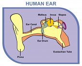 Human Ear - Including External, Middle & Outer Ear - Parts are Shown (Pinna, Ear Canal, Ear Drum, Malleus, Incus, Stapes, Eustachian Tube) - Useful For School, Medical Education and Clinics poster