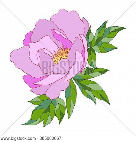 Drawing Of Pion With Leaves, Isolate On A White Background, Vector Illustration