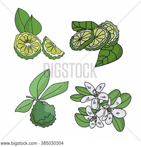 Set Of Citrus Fruits Bergamot, Fruits With Leaves, Slices Of Citrus And A Flowering Twig, Parts Of A
