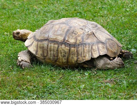 A Tortoise Slowly Walking Across The Green Grass.