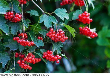 Red Viburnum Or Guelder Rose Berries On Bush (viburnum Opulus)
