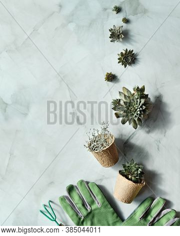 Seedling Pots, Planting Seedlings And Baby Plants Of Sempervivum Succulent Plants. Plants, Hand In G